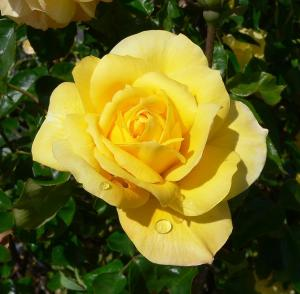 'Sutter's Gold' Rose