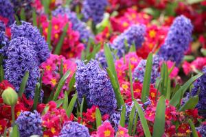 Hyacinths and primulas