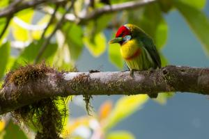 Versicoloured barbet