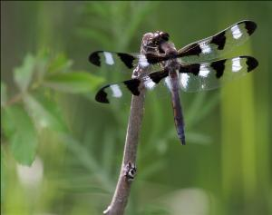 Long-tailed Skimmer