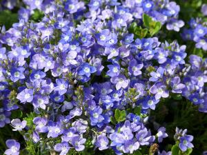 Turkish Speedwell