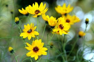 Willowleaf sunflower