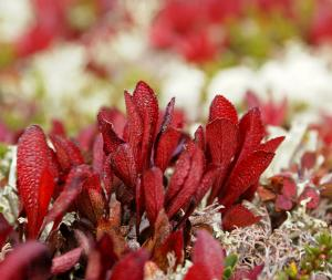 Mountain Bearberry